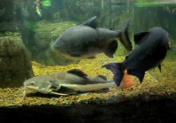 Large ornamental fish №44998