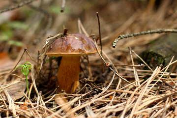Imleria badia mushrooms №44845