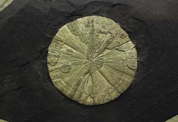 Pyrite concretion №44687