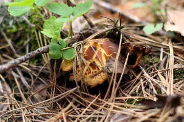 Forest mushroom №44863