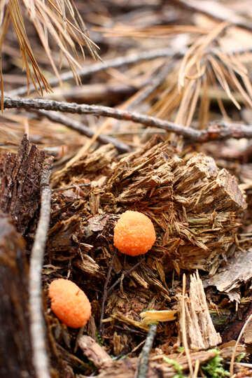 Forest orange mushroom №44839