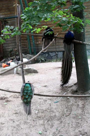 Bird peacock №44882