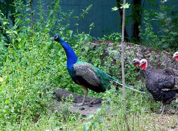 Bird peacock №44909