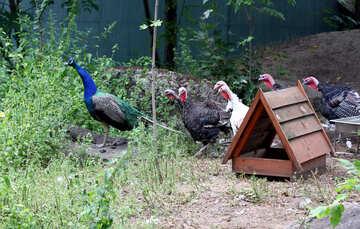 Bird peacock №44910