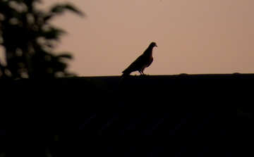 Silhouette of a bird at sunset №44470