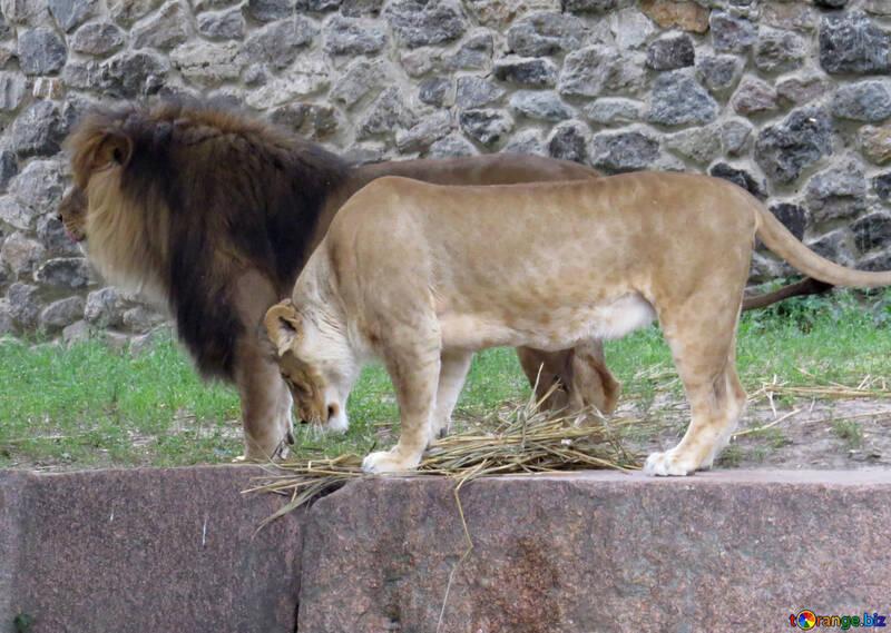 A lion №44977