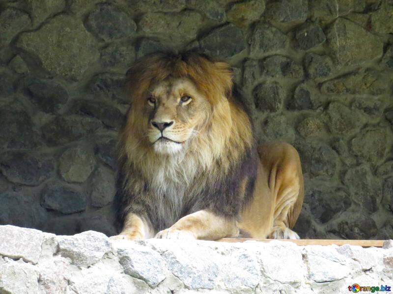 A lion №44967
