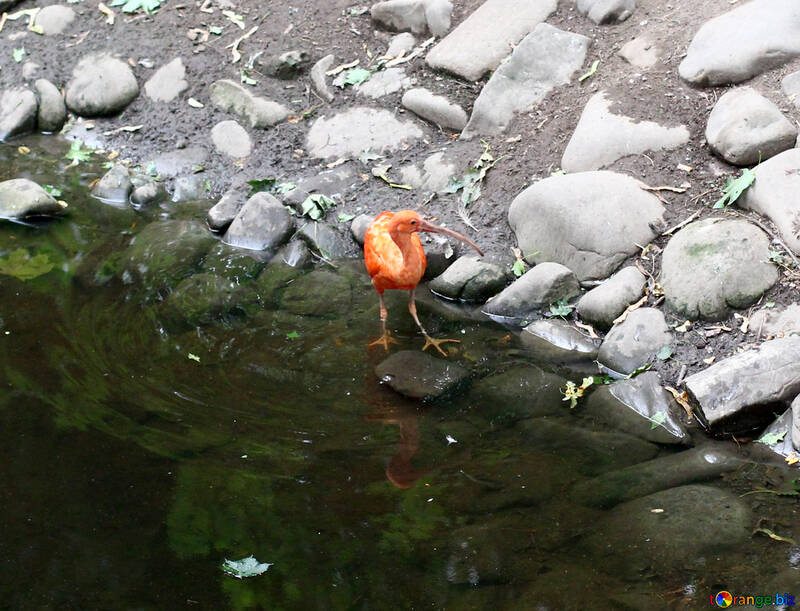 Orange oiseaux d`eau avec un long bec №44877
