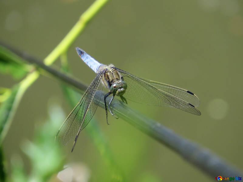 Blue dragonfly №44483