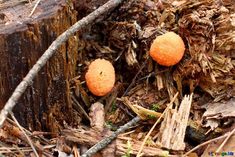 Forest orange mushroom №44840