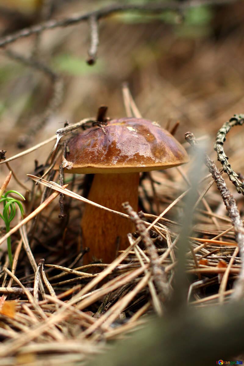 Imleria badia mushrooms №44844