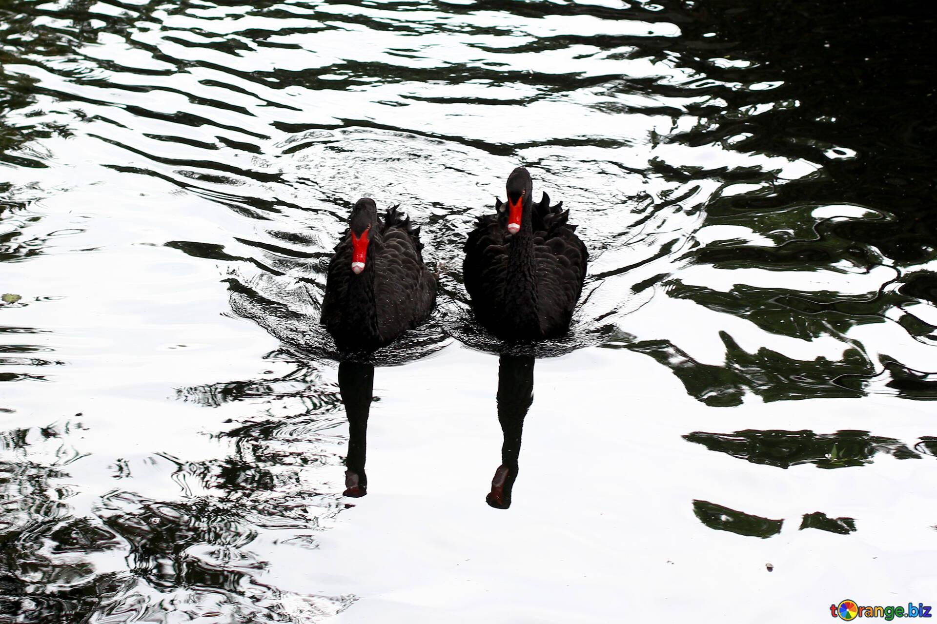 нашествие черный лебедь фото карта ударное улицами