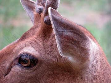 Muzzle fawn №45179