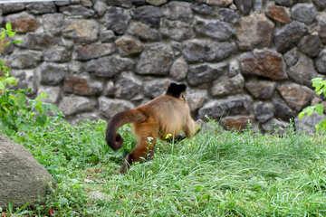 Capuchin runs №45351