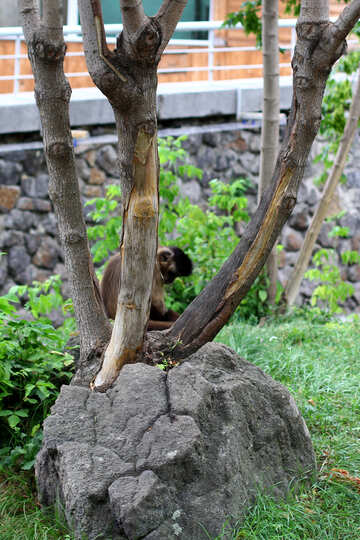Capuchin in a tree №45347