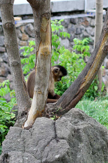 Capuchin in a tree №45349