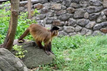 Capuchin sitting on a stone №45350
