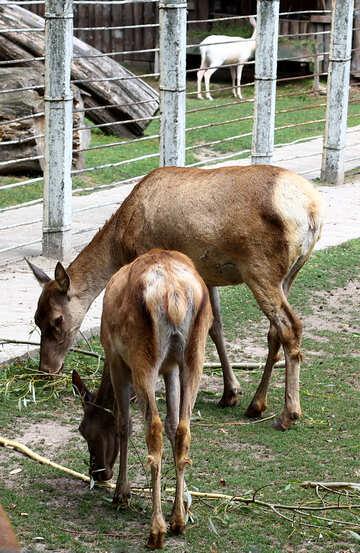 Deer №45918