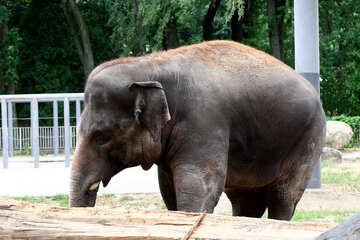 Elephant in zoo №45831