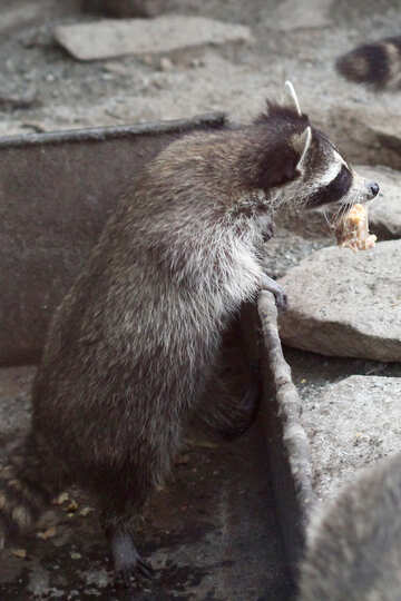 Raccoon with food №45396