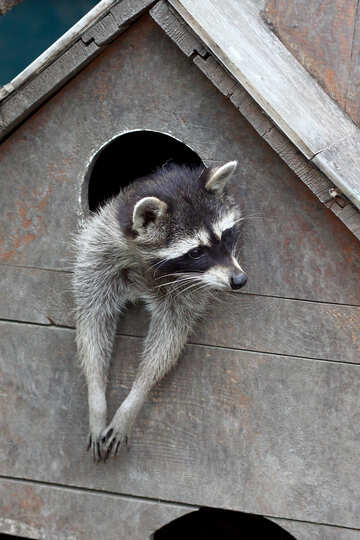 Raccoon in the house №45403