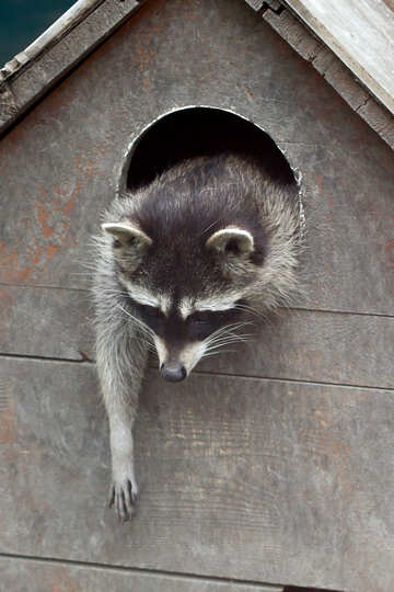 Raccoon in the house №45414