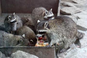 Raccoons №45391