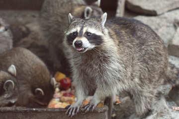 Raccoon №45389