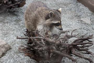 Raccoon №45400
