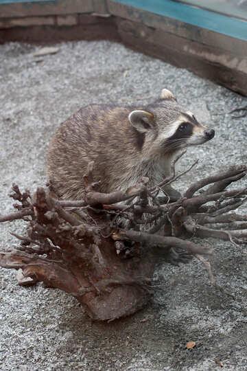 Raccoon №45401