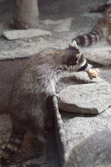 Raccoon with food №45397
