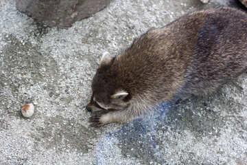 Raccoon with food №45399