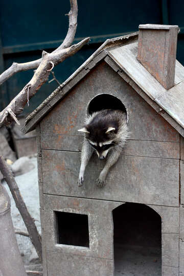 Raccoon in the house №45404