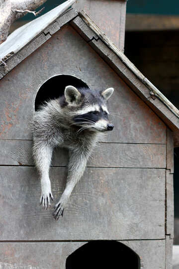 Raccoon in the house №45406