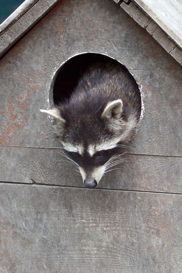 Raccoon in the house №45409