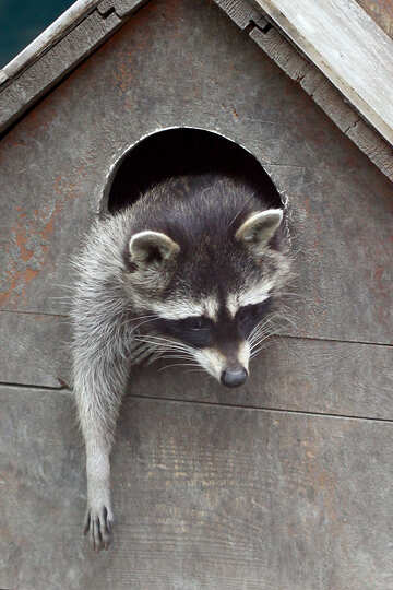 Raccoon in the house №45412