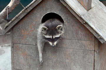 Raccoon in the house №45413