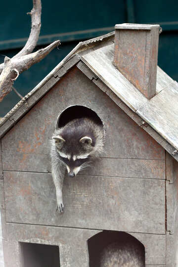 Raccoon in the house №45415