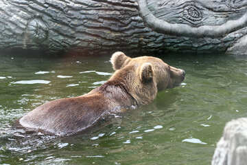 Bear in water №45925
