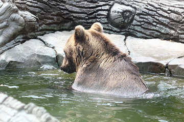 Bear in water №45926