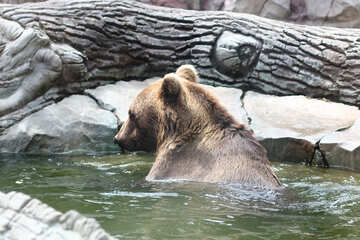 Bear in water №45927