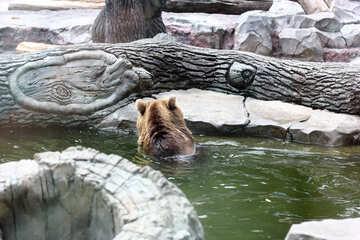 Bear in water №45928