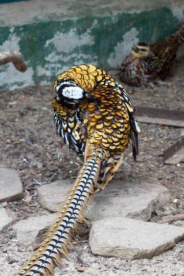 Pheasant №45426