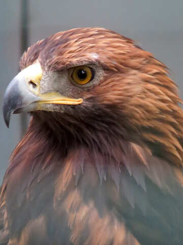 Golden eagle №45231