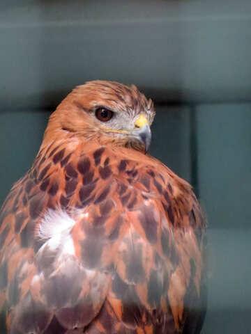 Hawk №45205