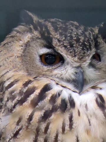 Owl №45222
