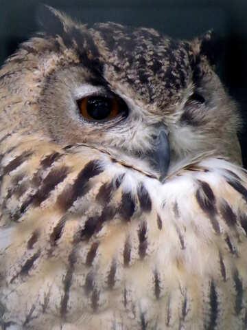 Owl portrait №45224
