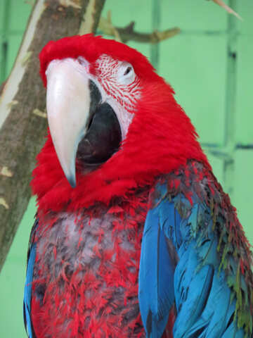 Parrots red macaw №45213