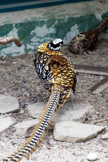 Pheasant №45429