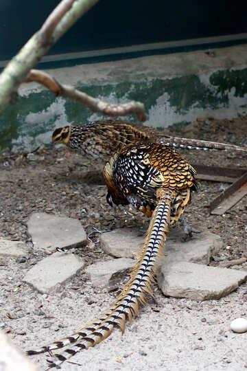 Pheasant №45438